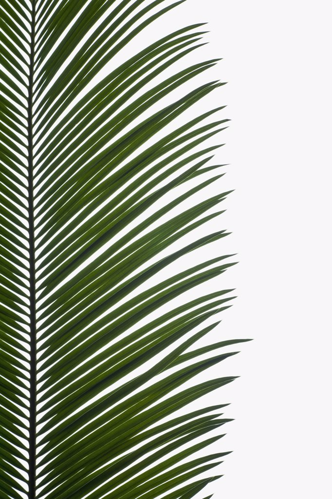 Stock Photo: 1570R-125832 Palm Leaves