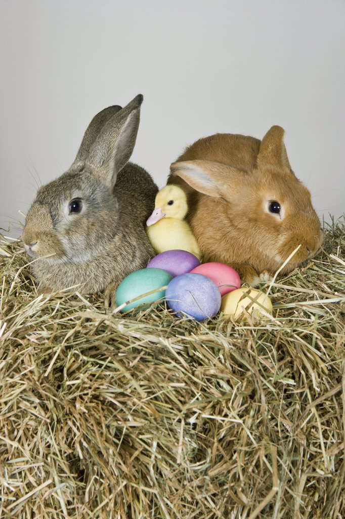 Stock Photo: 1570R-128241 Two rabbits, a duckling and Easter eggs, studio shot