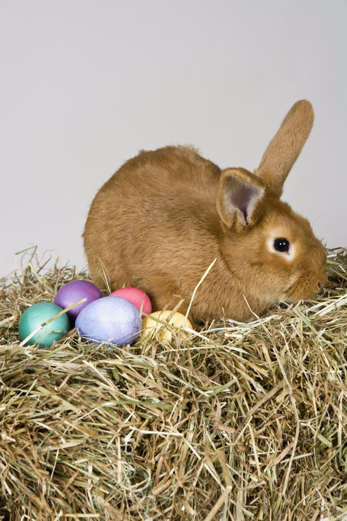 Stock Photo: 1570R-128245 A rabbit and Easter eggs, studio shot