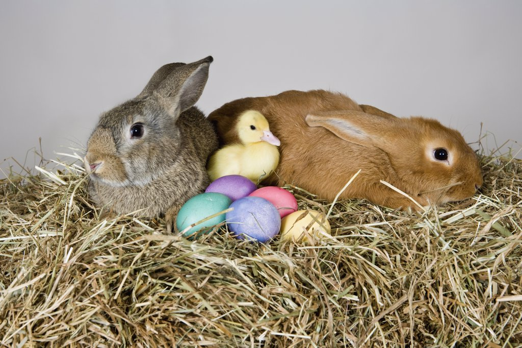 Two rabbits, a duckling and Easter eggs, studio shot : Stock Photo