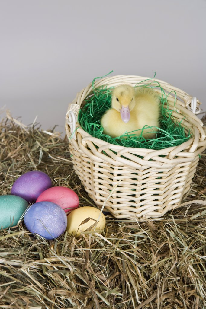 Stock Photo: 1570R-128257 A duckling in an Easter basket, studio shot