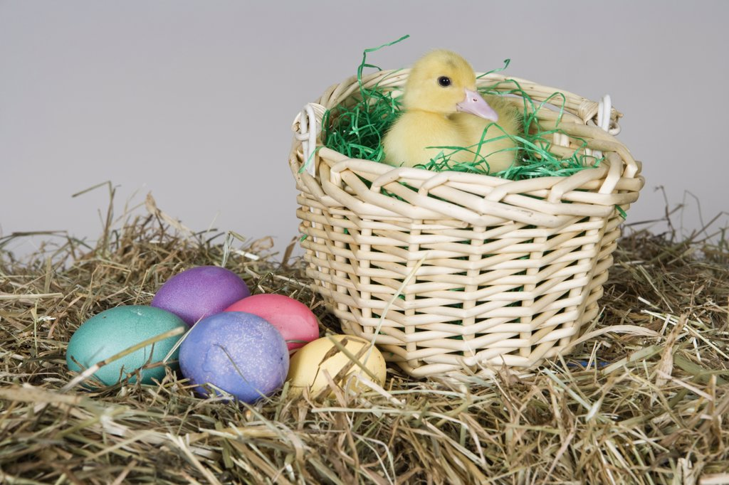 Stock Photo: 1570R-128264 A duckling in an Easter basket, studio shot