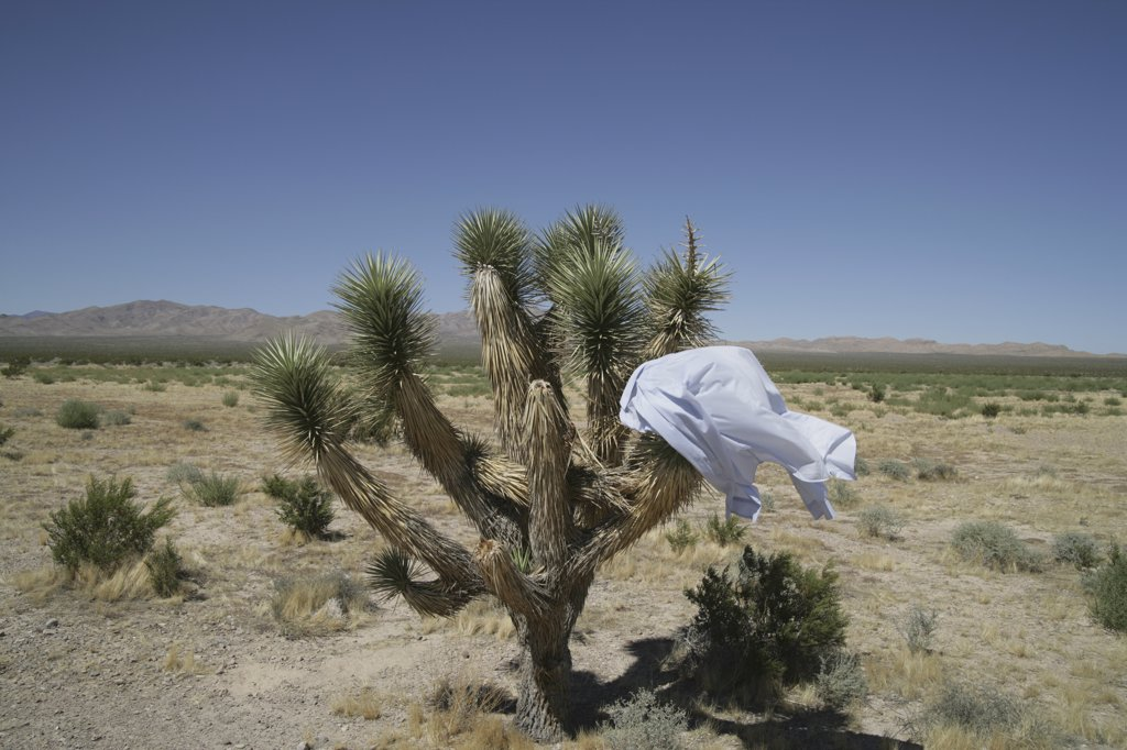 Stock Photo: 1570R-130264 Business shirt stuck on cactus in desert