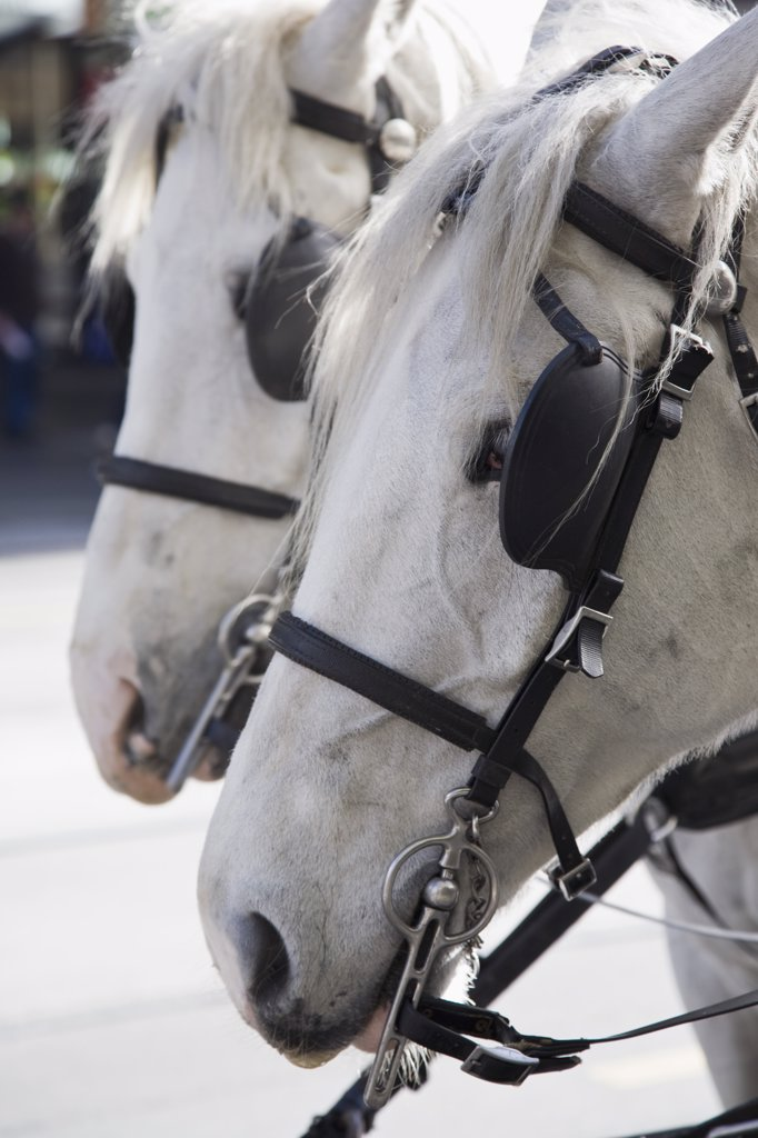 Detail of two white horses : Stock Photo