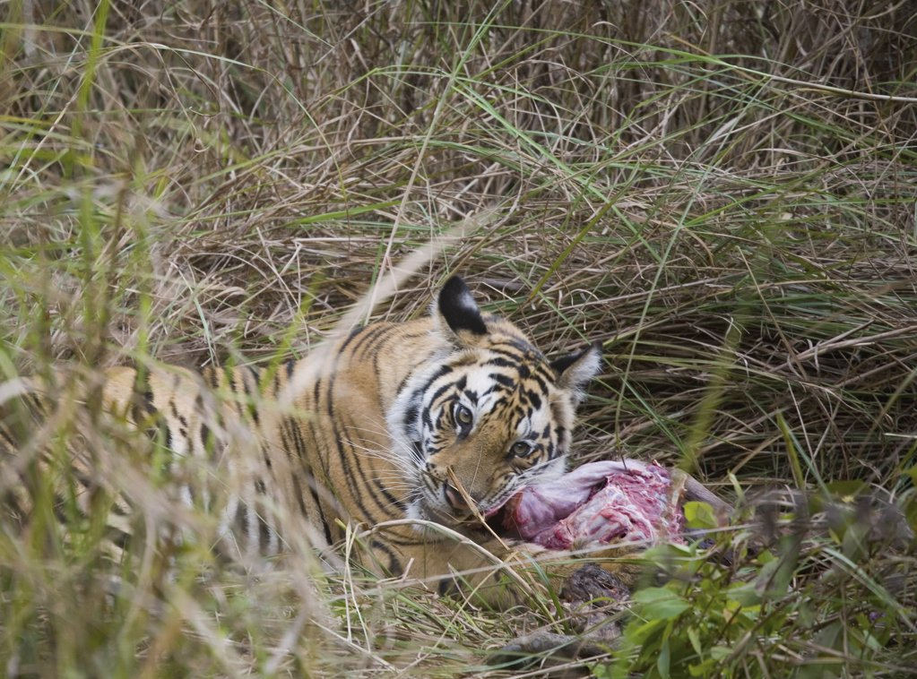 Stock Photo: 1570R-132500 Tiger lying down in grass feeding on kill
