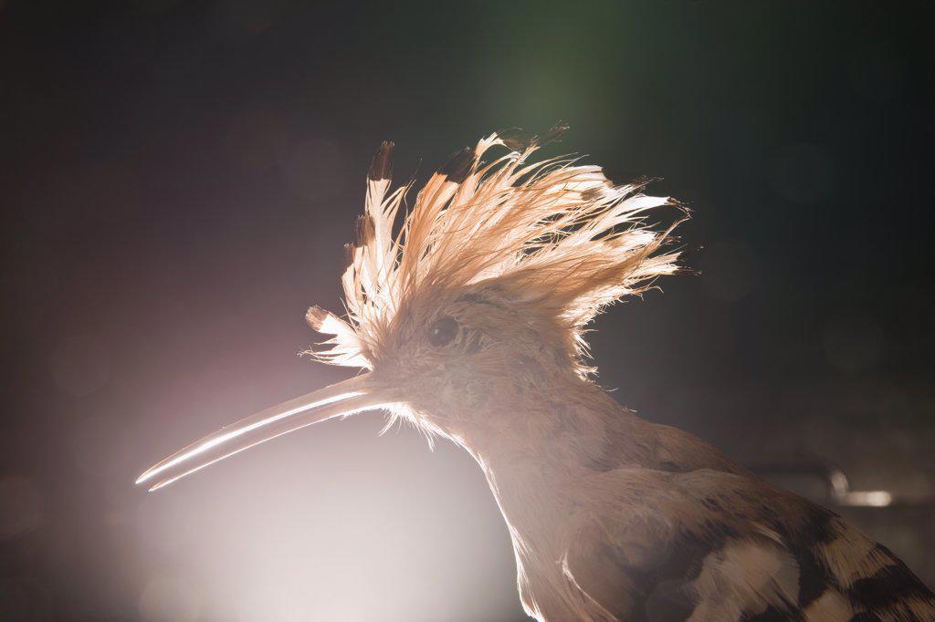 A taxidermic Hoopoe bird, Upupa epops : Stock Photo