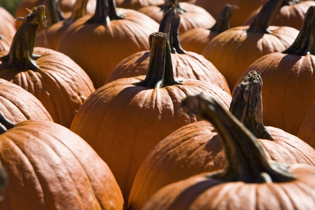 Group of pumpkins, outdoors : Stock Photo