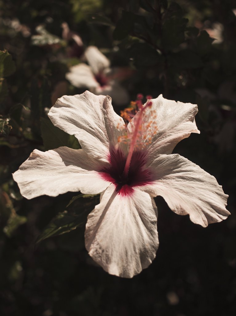 Stock Photo: 1570R-136584 Close up of hibiscus bloom flower