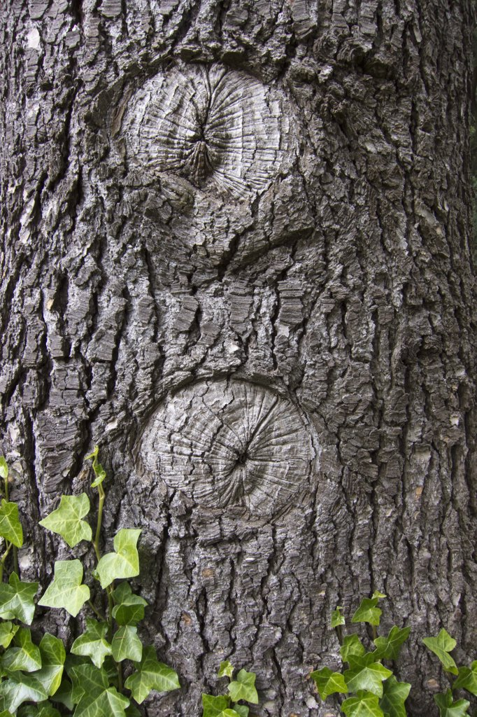 The beginning of two hollows in a tree trunk : Stock Photo