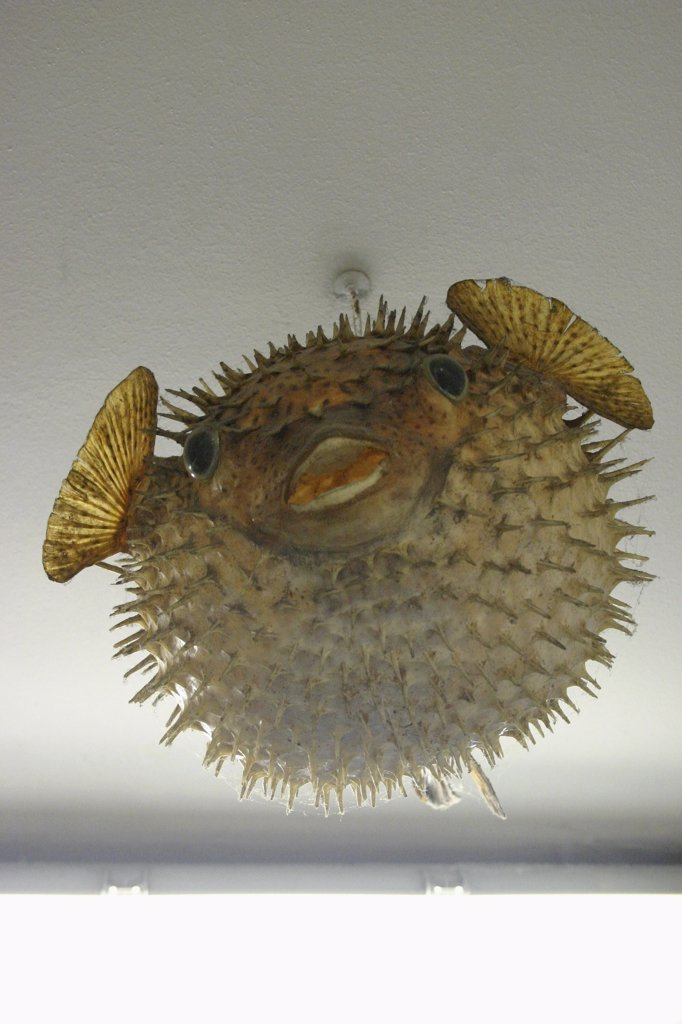 Stock Photo: 1570R-138052 A puffer fish light fixture hanging from the ceiling