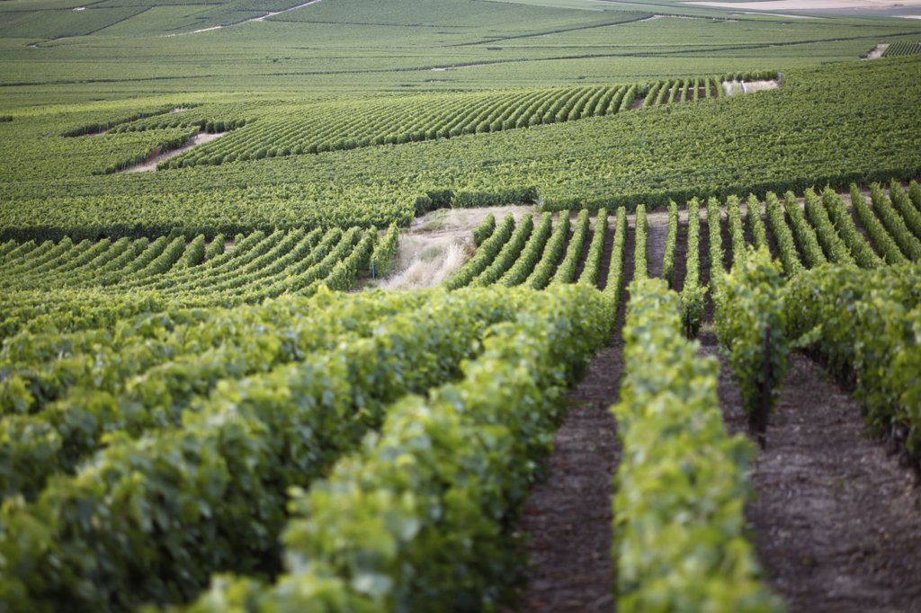 Rolling hills of a vineyard : Stock Photo