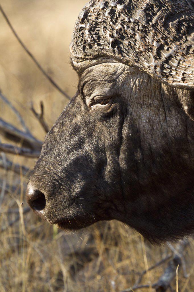 Stock Photo: 1570R-138959 An African Buffalo, close-up headshot