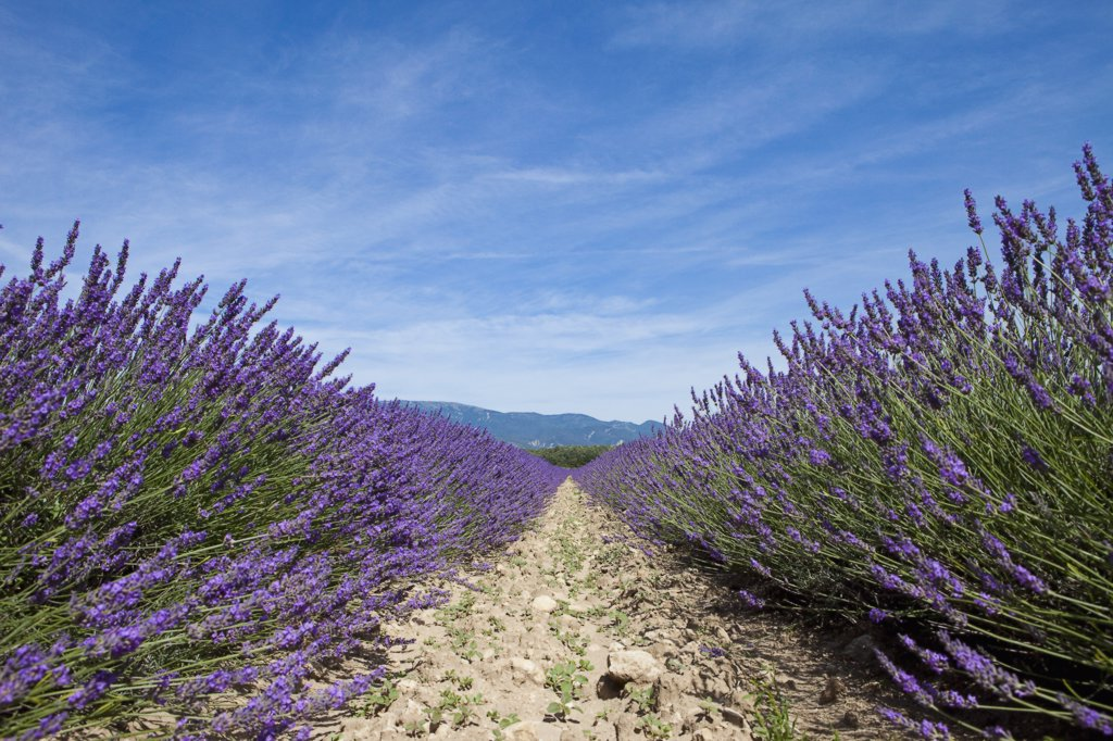 Cultivated lavender growing in a field : Stock Photo