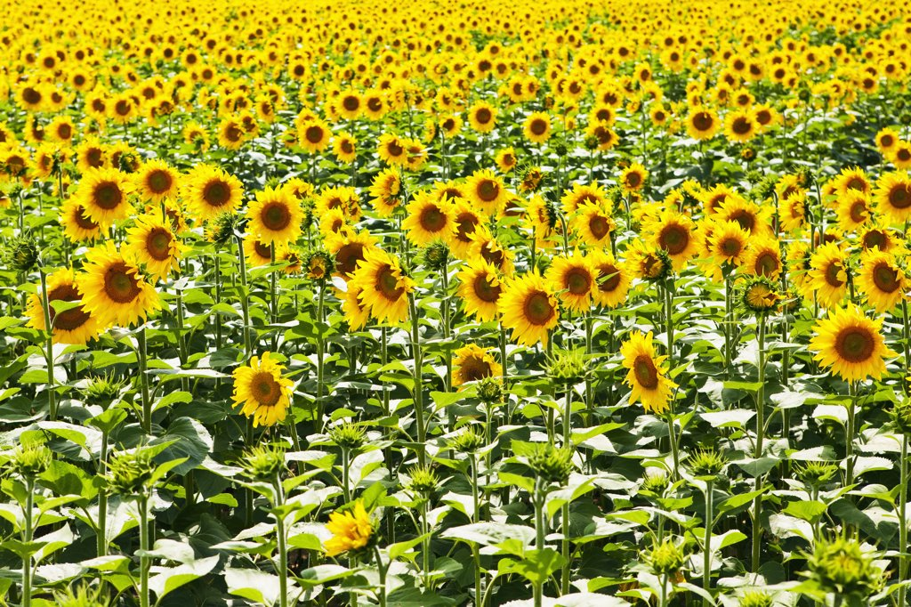 Stock Photo: 1570R-139338 A field of sunflowers
