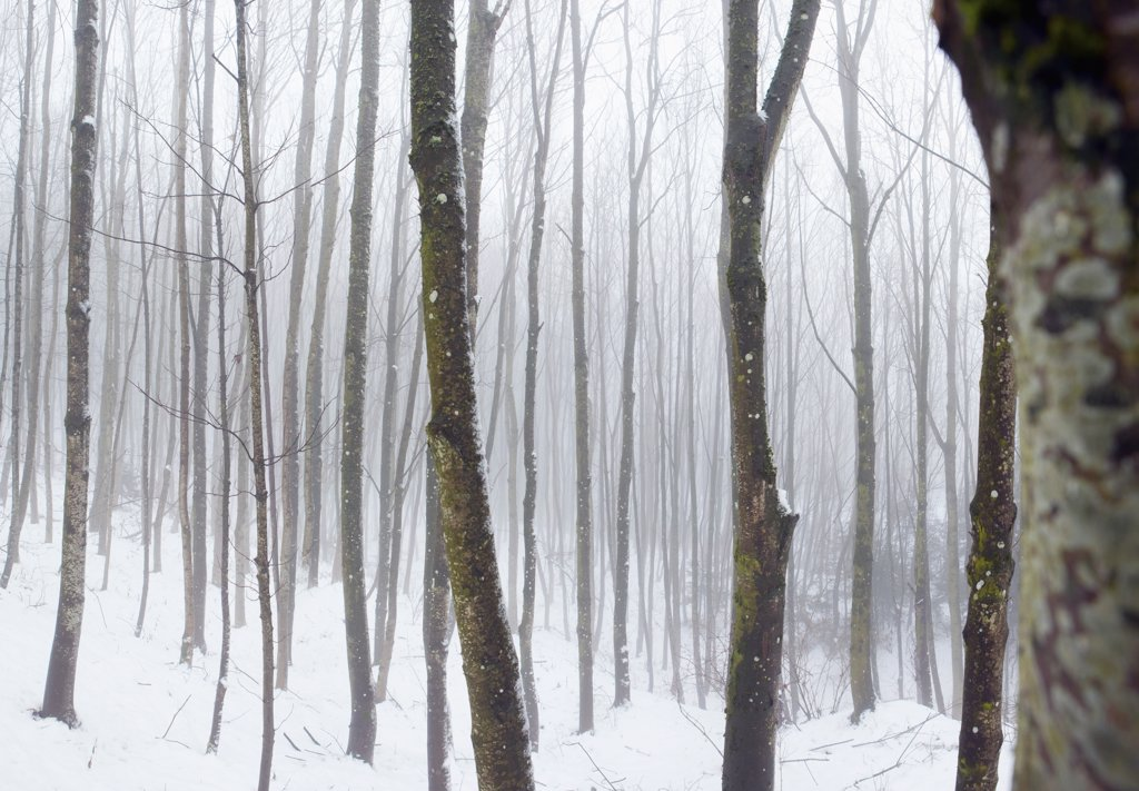 Stock Photo: 1570R-139767 Hazy winter forest