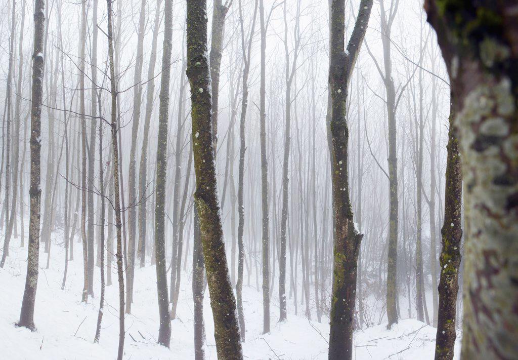 Hazy winter forest : Stock Photo