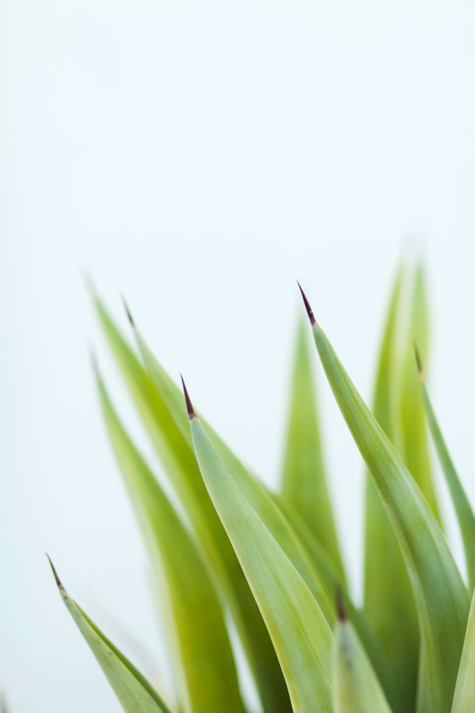 Stock Photo: 1570R-140651 Browning tips of a potted plant