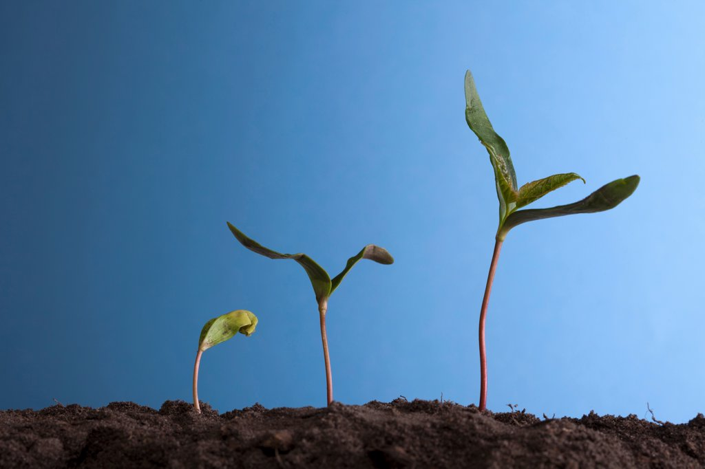 Row of three plants : Stock Photo