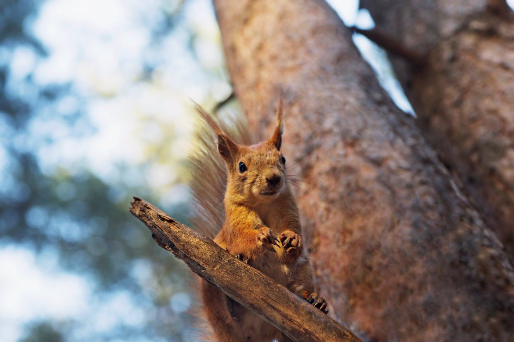 Stock Photo: 1570R-141067 A squirrel in a tree
