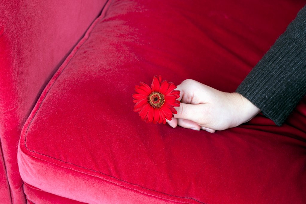 A hand holding a dark pink Gerbera Daisy on a dark pink sofa : Stock Photo