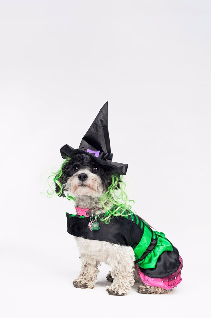 A black and white dog wearing a witch's costume : Stock Photo