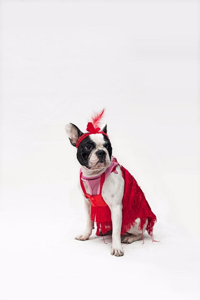 A French Bulldog wearing a red flapper costume : Stock Photo