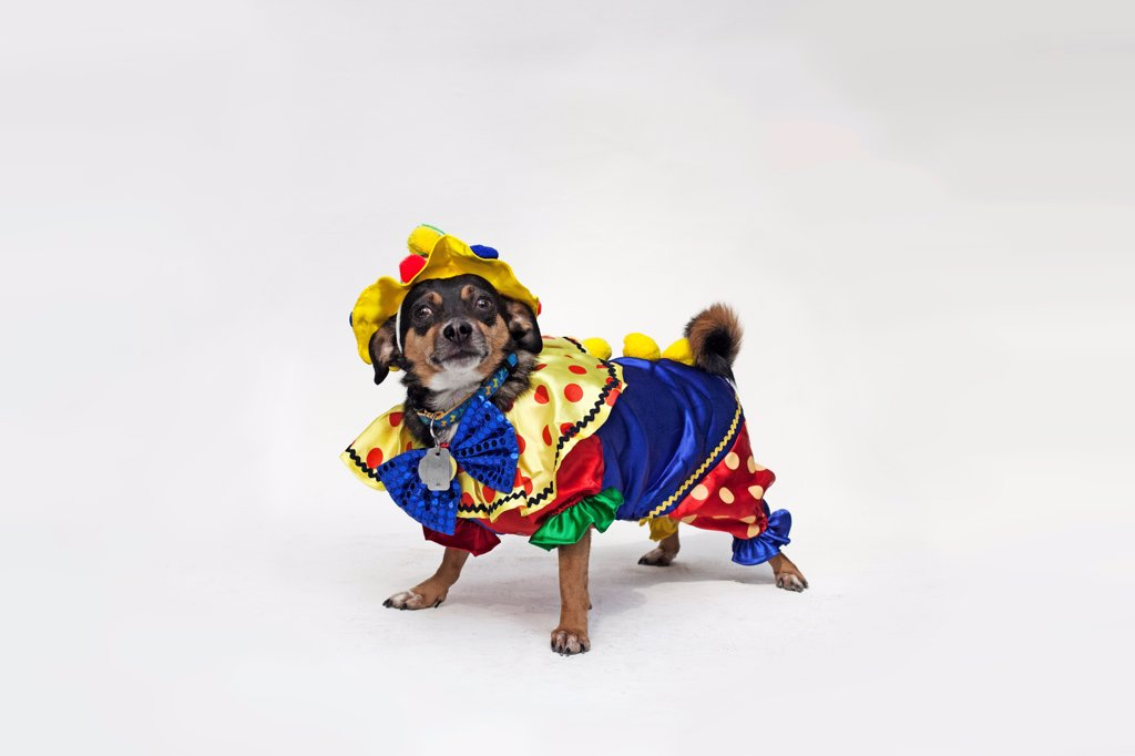 A mixed Chihuahua wearing a brightly colored clown costume : Stock Photo