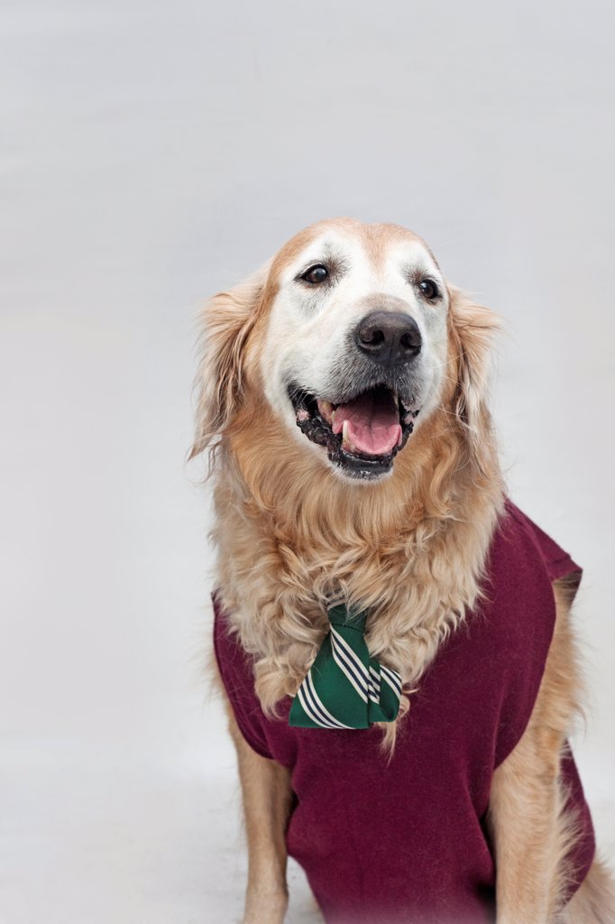 A golden retriever wearing a tie and sweater vest : Stock Photo