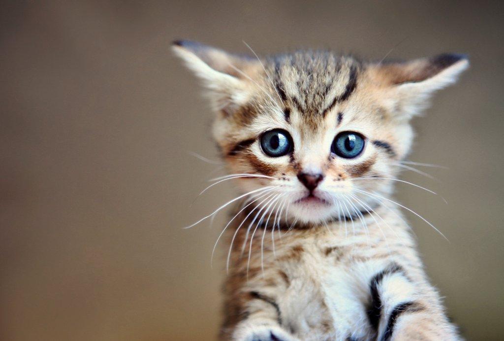 Stock Photo: 1570R-141797 A little tabby kitten close-up