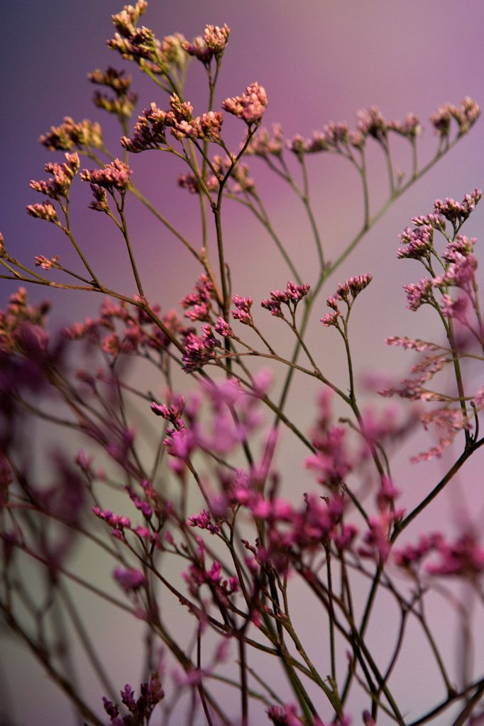 A bunch of pink Statice (Limonium) against a pastel background : Stock Photo