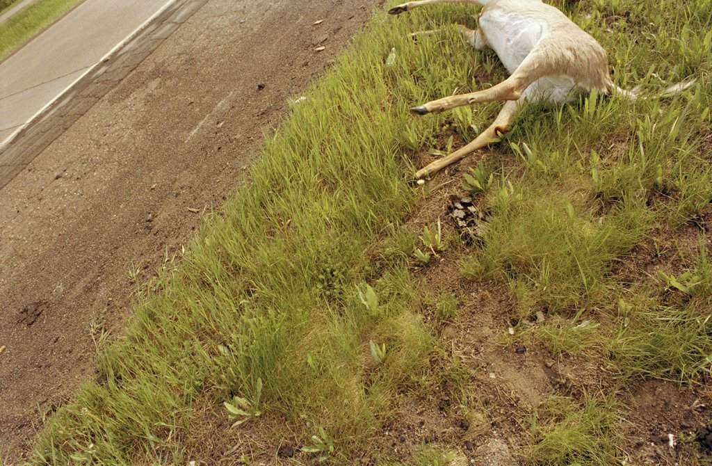 A dead deer lying by a road : Stock Photo