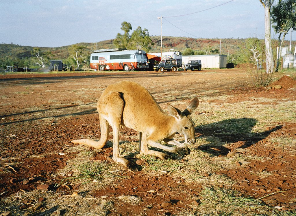 Stock Photo: 1570R-80014 A kangaroo standing in a rural area, Australia