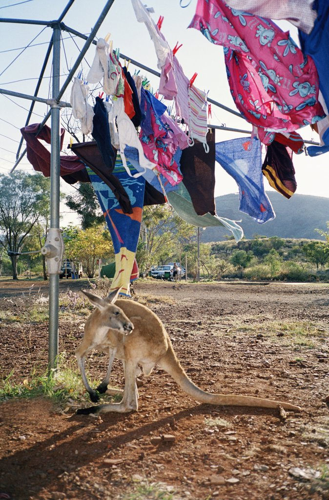 A kangaroo standing under a clothesline, Australia : Stock Photo