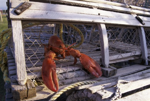 Lobster in a lobster trap : Stock Photo