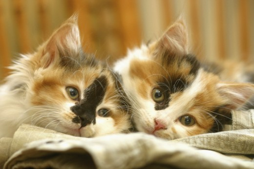 Stock Photo: 1574R-011444B Close-up of two cats lying down