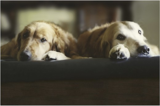 Two Golden Retrievers lying in a bed : Stock Photo