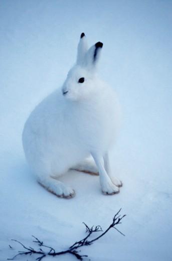 Arctic Hare     : Stock Photo