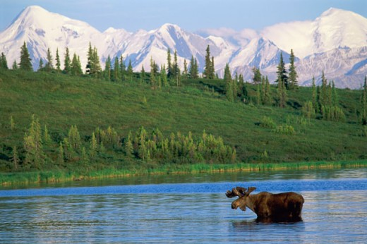 Stock Photo: 1574R-012082 Moose Wonder Lake Denali National Park Alaska USA