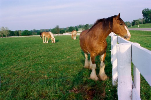 Belgium Draft Horses