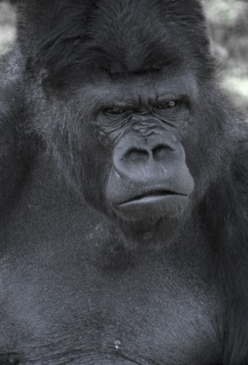 Stock Photo: 1574R-012142 Gorilla