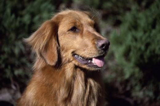 Stock Photo: 1574R-012162 Close-up of a Golden Retriever