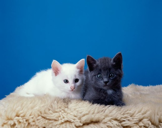 Stock Photo: 1574R-012163 Two kittens lying on a rug