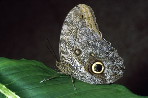 Stock Photo: 1574R-015832 Owl Butterfly