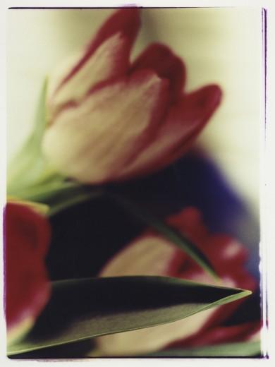 Stock Photo: 1574R-015847 Tulips
