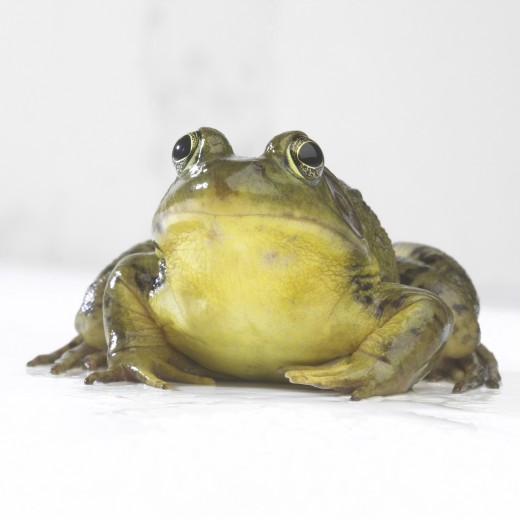 Close-up of a frog : Stock Photo