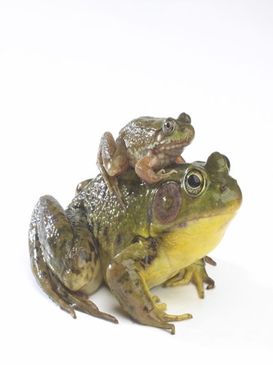 Stock Photo: 1574R-015966 Frog sitting on the back of another frog