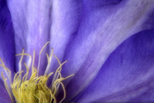 Stock Photo: 1574R-016956 Blue Clematis