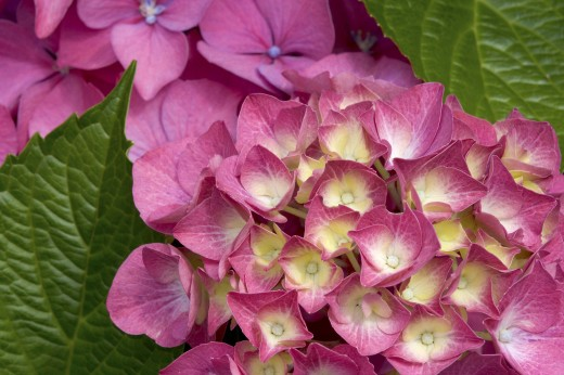 Hydrangeas : Stock Photo
