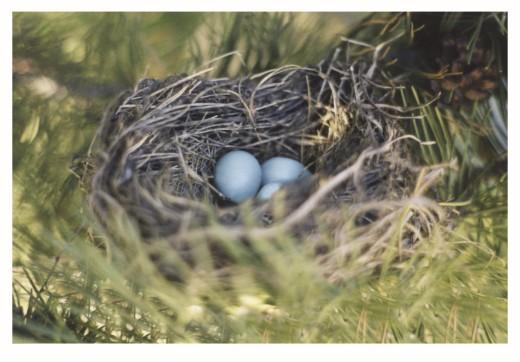 Robin's Nest     : Stock Photo
