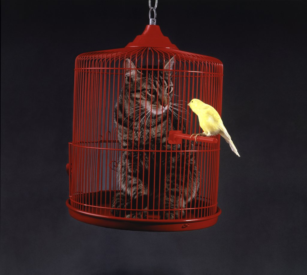 Cat in a cage with a canary perched outside : Stock Photo